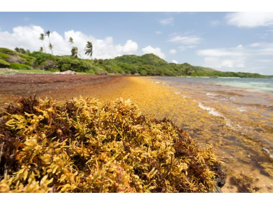 SAMtool : observing and predicting Sargassum landings in the Tropical Atlantic thanks to satellites
